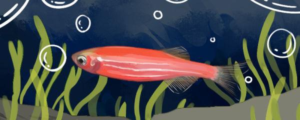 红斑马鱼如何繁殖小鱼,多久繁殖一次