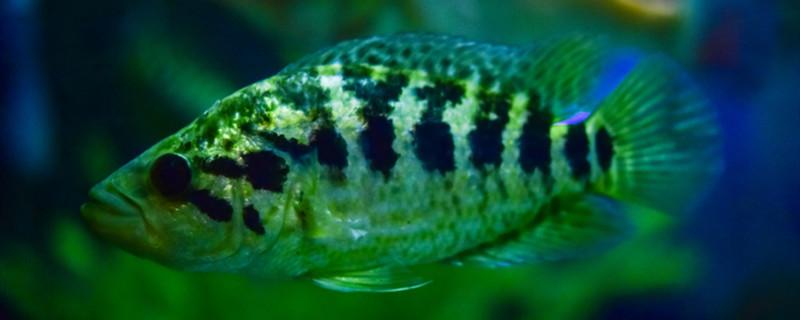 为什么鱼缸的水总是变绿,鱼缸水变绿怎么解决