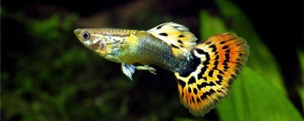 孔雀鱼憋着不生是什么原因,该怎么处理