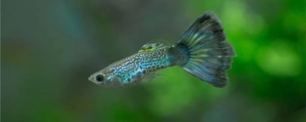 小孔雀鱼得针尾病是什么原因,怎么治疗