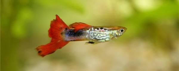 母孔雀鱼会吃自己的小鱼吗,怎么预防孔雀鱼吃小鱼