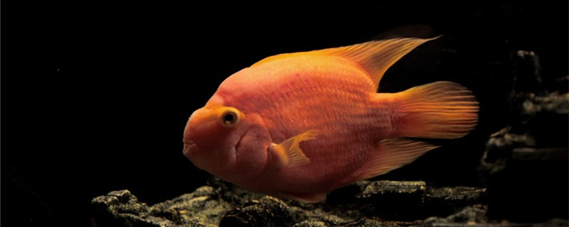 鹦鹉鱼吃小鱼吗,能和小型鱼类混养吗