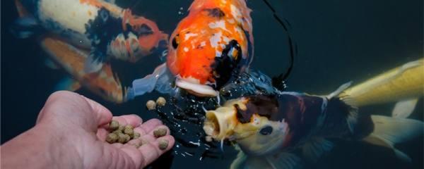 锦鲤和金鱼有什么区别,怎么区分锦鲤和金鱼