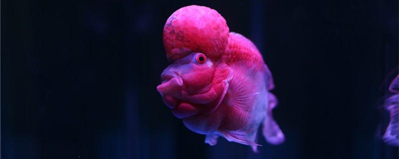 罗汉鱼能和龙鱼混养吗,能和锦鲤混养吗