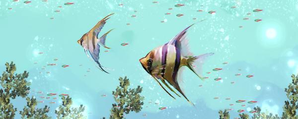 神仙鱼能活多久,多大可以繁殖