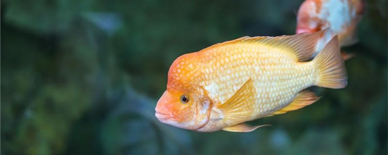 小鹦鹉鱼多久能长大,喂什么长得快