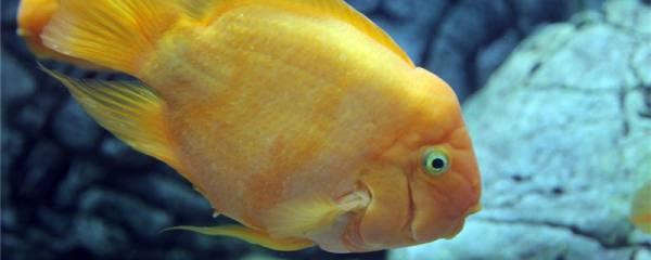 鹦鹉鱼鱼缸能不能造景,怎么造景