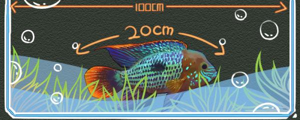 红尾皇冠鱼能长到多大,怎么养