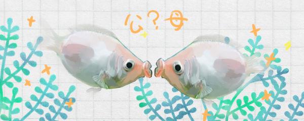 接吻鱼怎么分公母,公母能混养吗