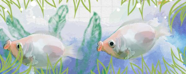 接吻鱼怎么养才能养活,怎么养才不容易死