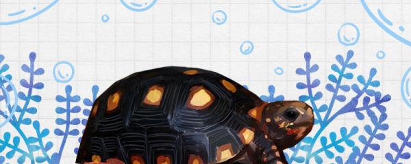 红腿陆龟好养吗,怎么养