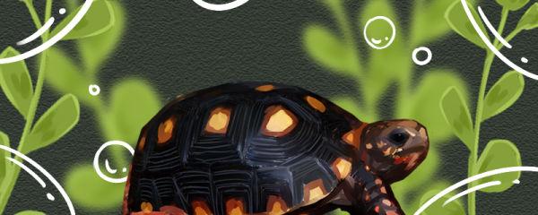 红腿陆龟寿命多长,多大可以繁殖