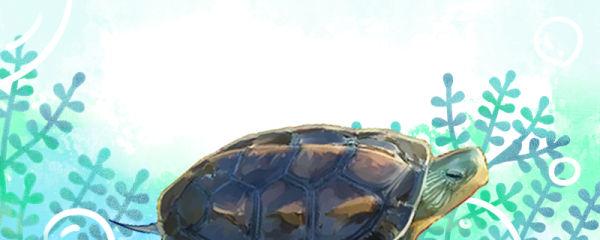 中华花龟寿命多长,多大成年