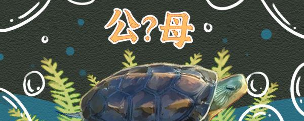 中华花龟怎么分公母,公母能一起养吗