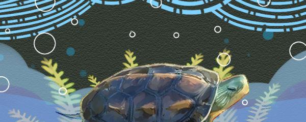 中华花龟怎么看年龄,能活多久