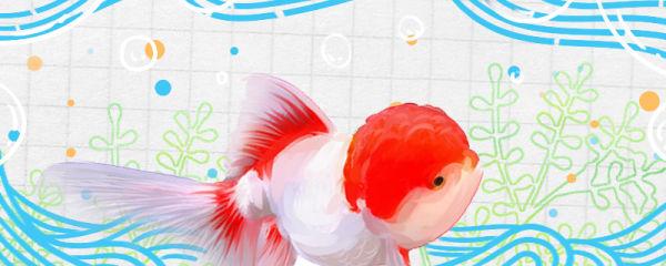 鹤顶红金鱼好养吗,如何饲养