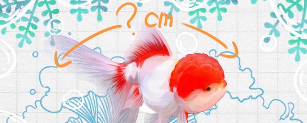 鹤顶红金鱼能长到多大,寿命多长
