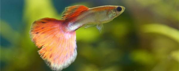孔雀鱼静止在水中不动是为什么,该怎么处理