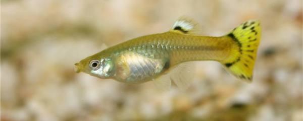 孔雀鱼拉白便是什么原因,一定是肠炎吗
