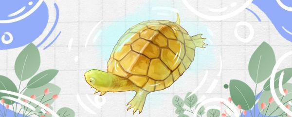 石金钱龟好养吗,能深水养吗