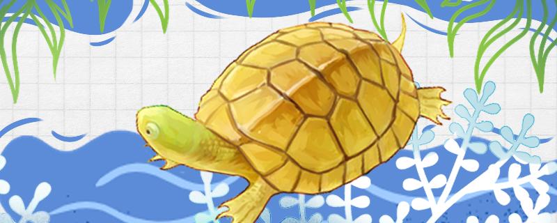 石金钱龟怎么养,需要晒太阳吗