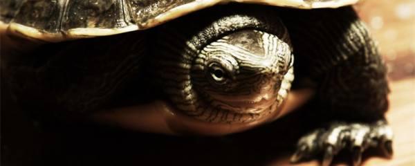 宠物龟养什么品种好,什么龟比较好养