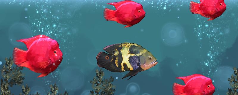 鹦鹉鱼和地图鱼哪个凶,地图鱼会把鹦鹉鱼咬死吗