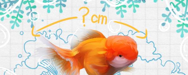 狮子头金鱼能长多大,能活多久