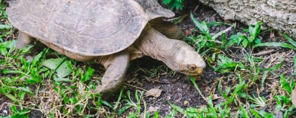 怎么知道乌龟要下蛋了,乌龟下蛋了该怎么办