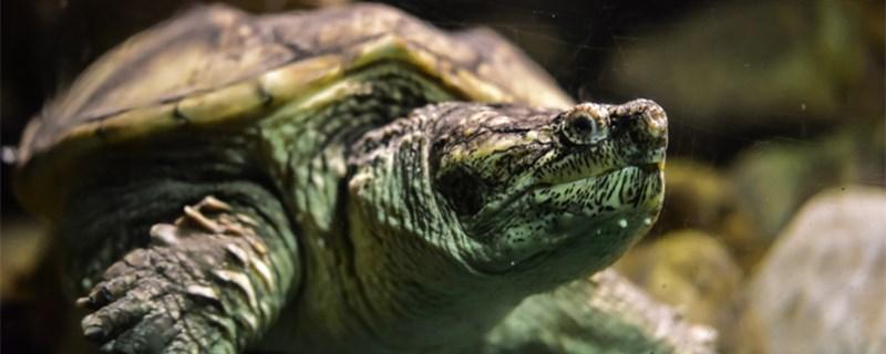 小乌龟怎么养,怎么饲养长得快