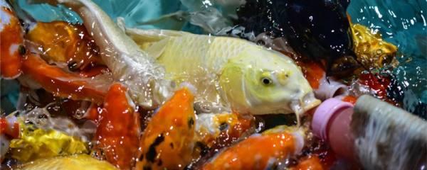 池塘死鱼放什么药,池塘死鱼是什么原因