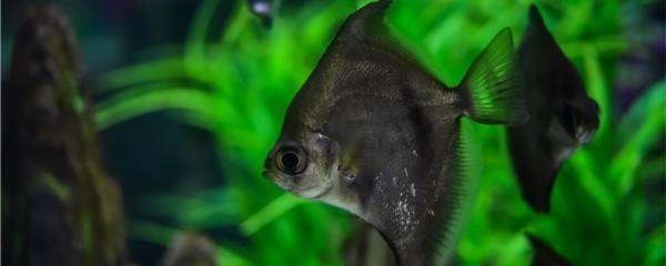 鲳鱼是海鱼还是淡水鱼,在淡水中能活吗