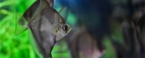 鲳鱼是深海鱼吗,可以人工养殖吗