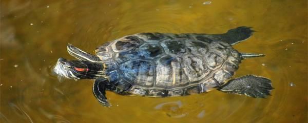 小乌龟怎么分公母,怎么分辨乌龟的雌雄