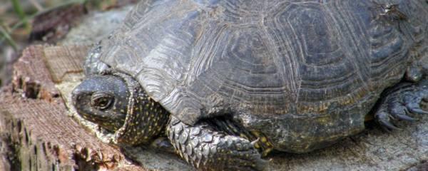 小乌龟可以离开水多久,乌龟为什么要干养