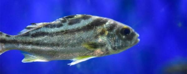 鱼屎拉出很长不掉怎么办,鱼得肠炎怎么治疗