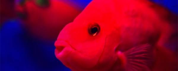 鱼为什么吃同伴的尾巴,鱼咬尾巴怎么办