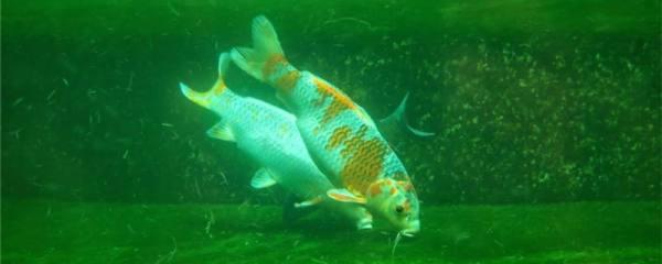 养锦鲤的鱼缸水浑浊是什么原因,怎么处理