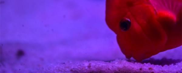 鱼肚子鼓胀怎么急救,为什么会肚子鼓胀