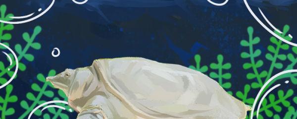 甲鱼吃什么食物,喂什么可以催黄