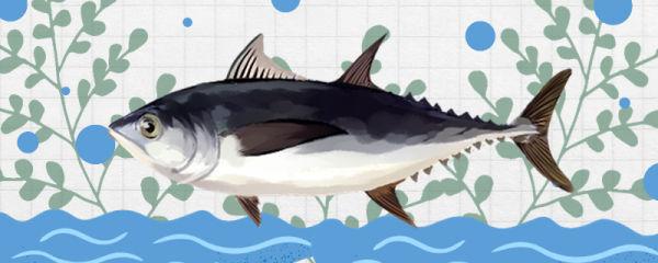 金枪鱼吃什么,怎么捕食