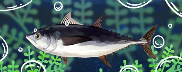 金枪鱼和鲅鱼是同一种鱼吗,有什么区别