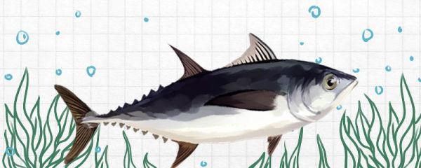金枪鱼有刺吗,刺多吗