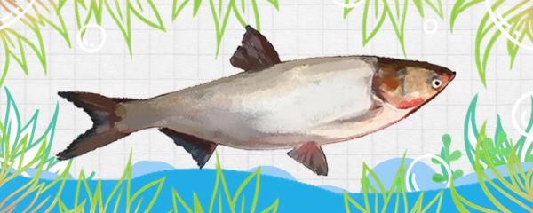 鲢鱼刺多吗,和草鱼哪个刺少
