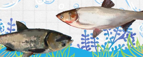 鲢鱼和大头鱼是同一种鱼吗,有什么区别