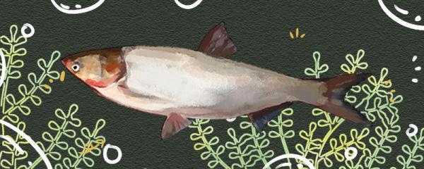 鲢鱼和鲶鱼是同一种鱼吗,有什么区别