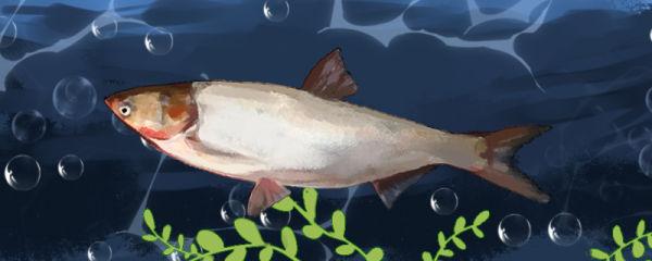 鲢鱼会自己繁殖吗,多大可以繁殖