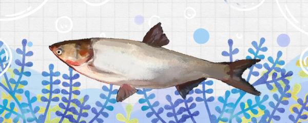 鲢鱼可以养吗,怎么养