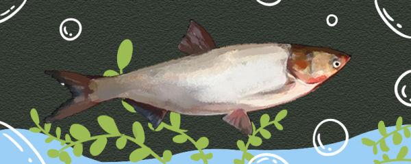 鲢鱼有刺吗,刺多吗