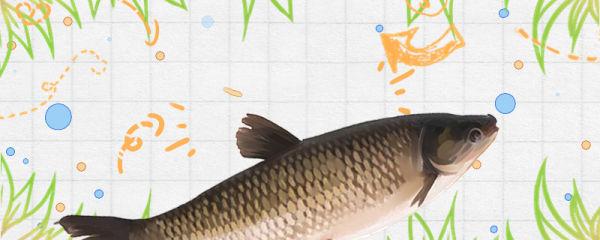 草鱼能长到40斤吗,40斤的草鱼要长多少年